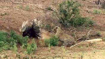 Leopard vs. Porcupine: A Prickly Standoff