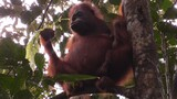 Orangutans Nurse Their Young For Much Longer Than You'd Think