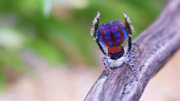 Watch: The Sexy Dance Moves of Male Peacock Spiders