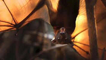 World's Weirdest: Flying Foxes