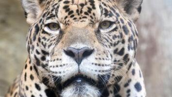 Saving Endangered Jaguars in Mexico, One Photo at a Time