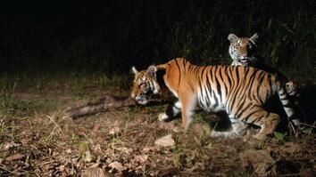 Watch: Extremely Rare Tigers Caught On Camera In Thailand