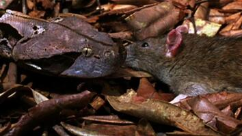 World's Deadliest: Six-Foot Snake Ambushes Prey
