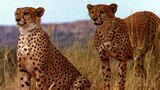 Animal Mothers: Cheetah vs. Gemsbok