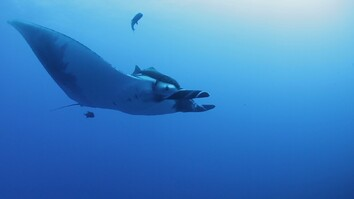 How Do You Get a Camera to Stick to a Manta Ray? Peanut Butter
