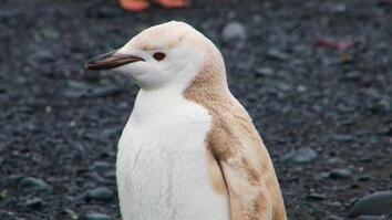 "Mutant ""Blond"" Penguin Spotted in Antarctica"
