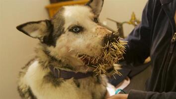 Dog Meets Porcupine
