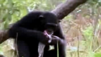 Chimps Use Tools to Hunt Mammals