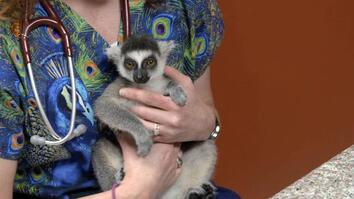 Dr. K's Exotic Animal ER: Leaping Lemur