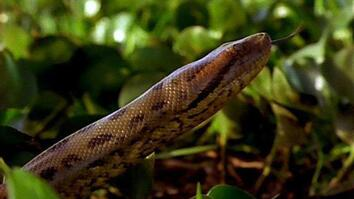 Anaconda Bite
