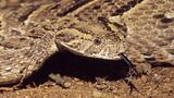 Deadly Trick: See How a Puff Adder Uses Its Tongue to Lure Prey
