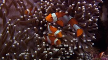 Anemone Killer Fish Traps