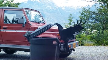 Watch: Clever Raven Outsmarts A Trash Can