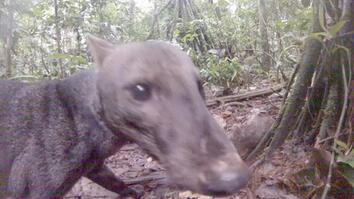 Rare Amazon Jungle Dog Caught on Video