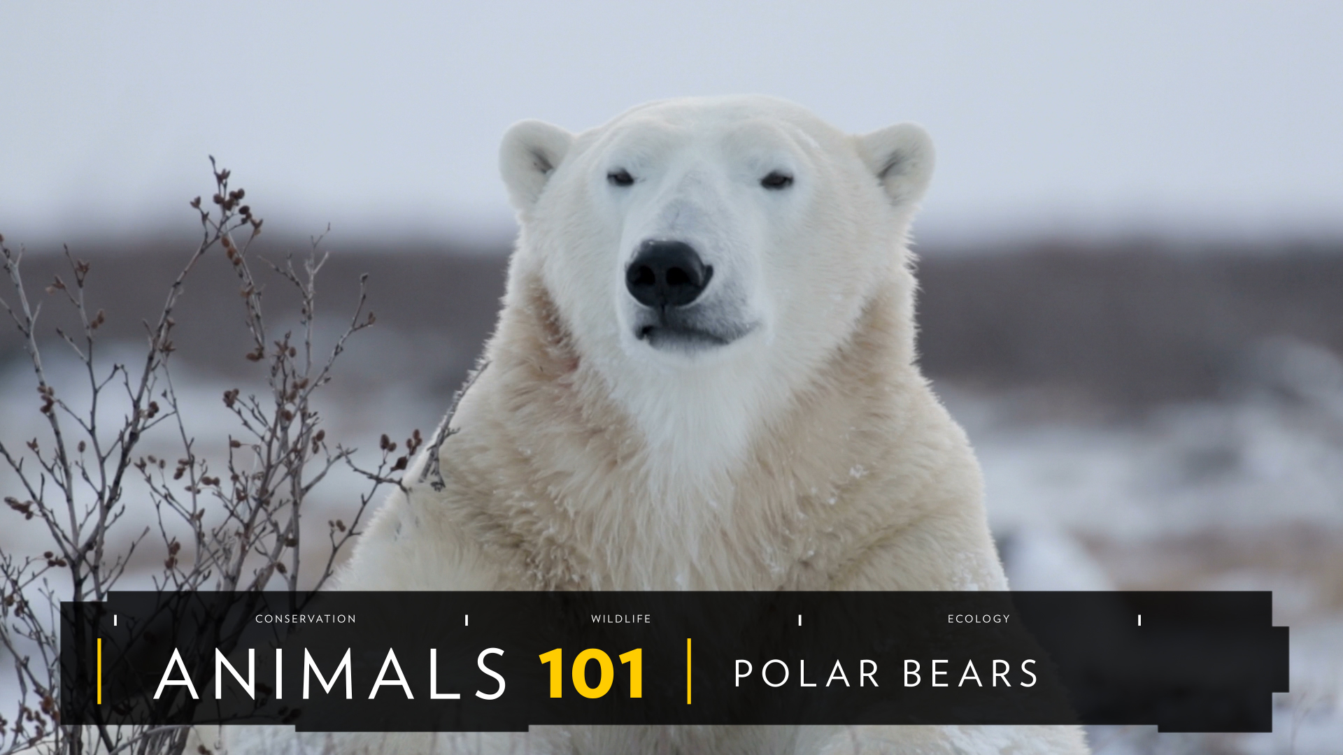 polar bears adapted their environment Polar bears are superbly adapted for a life on the sea ice built for cold, they have more problems overheating than they do in frigid temperatures.