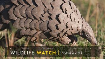 Pangolins: The Most Trafficked Mammal You've Never Heard Of