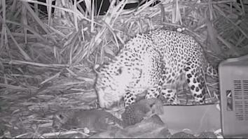 Leopard Cubs Returned to Mother in Heartwarming Reunion