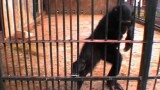 """""""Genius"""" Chimp Outsmarts Tube"""