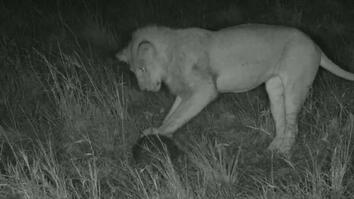 Lion 'plays soccer' with pangolin in rare video