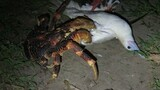 See This Giant Land Crab Attack a Bird