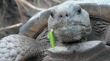Why Is This Gopher Tortoise Head-Banging?