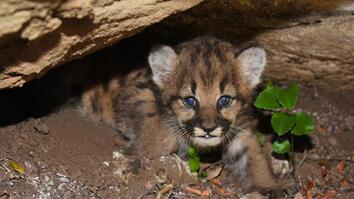 Watch Four Mountain Lion Cubs Curled Up In Their Den