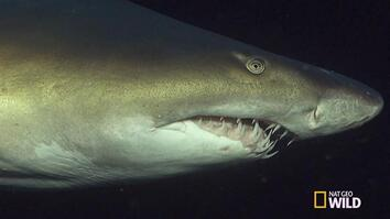 Watch Shark Use Needle-Like Teeth to Impale Fish Prey