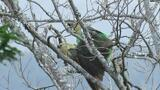 Africa's Rarest Parrot Filmed Mating for the First Time