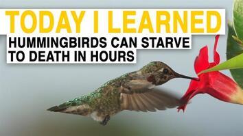 TIL: Hummingbirds Are the World's Hungriest Birds