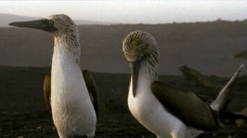 Lifestyles of the Blue-footed Booby