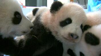 Helping Adorable Baby Pandas Go Wild