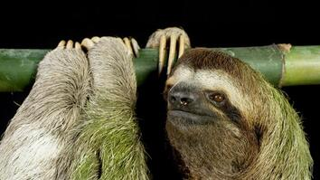 What Makes a Sloth Turn Green?