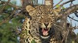 Leopard Vs Python