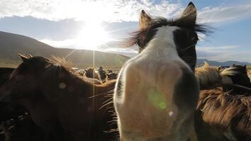 Untamed Horses in Iceland's Mountains
