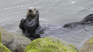 Watch sea otters crack open mussels on stone anvils