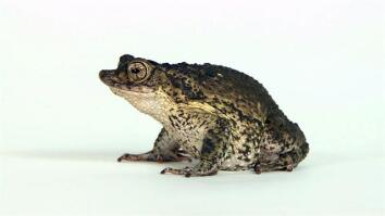 New Hope For an Endangered Toad: Thousands of Tadpoles Released
