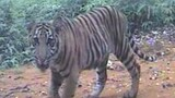 Rare Tiger Cubs Filmed