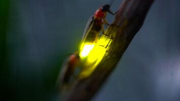 Watch: Fireflies Glowing in Sync to Attract Mates