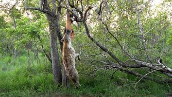 Why Is This Hungry Hyena Dangling From a Tree?