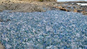 See Blanket of Jellyfish Washed Ashore