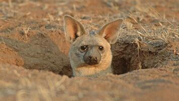 Meet the Aardwolf: A Cute Animal You Never Knew Existed