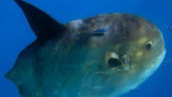 Rare Sunfish Sighting