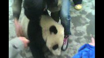 Panda Cubs Rescued After Quake