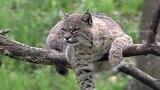 Bobcats of Kiawah Island