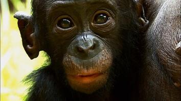 Things You Probably Didn't Know About Cute Bonobo Chimps