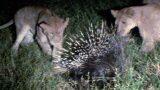 Porcupine vs. Lion