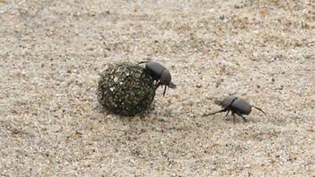 Beetles battle for a prized ball of dung