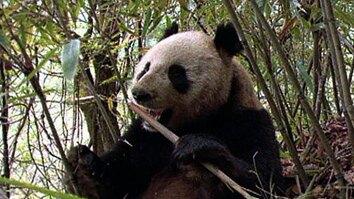 Elusive Giant Panda
