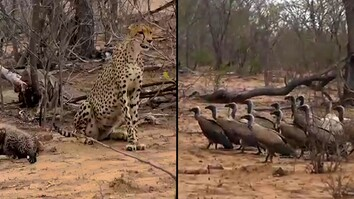 Vultures Gang Up on Cheetah, Steal Its Dinner