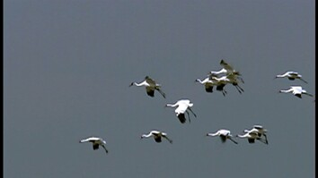 Rare Cranes Taught to Migrate